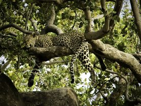 Rick Reda - Napping Leopard