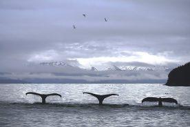 Rick Reda - Whales in Alaska